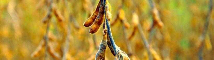 Rotação de canavial com soja ou amendoim necessita de controle de nematoides