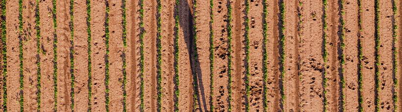 Planejamento de cultivo de grãos significa aumento de renda no campo